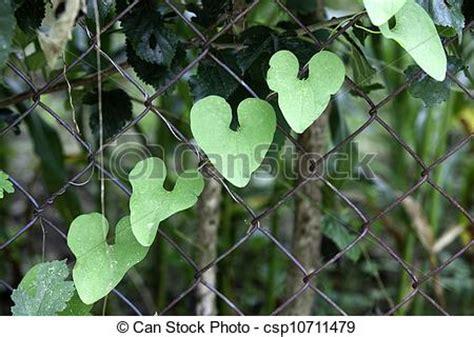 Image De Coeur, Plante, Feuilles, Formé