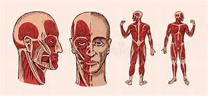 The Male Muscular System Stock Illustration  Illustration