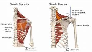Muscles  U2013 Advanced Anatomy 2nd  Ed