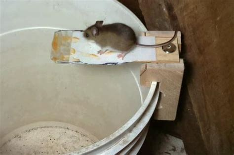 building  tipping ramp mouse trap