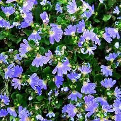 Winterharte Pflanzen Für Balkonkästen : blaue f cherblume standort pflege schneiden d ngen berwintern ~ Orissabook.com Haus und Dekorationen
