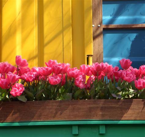 Tulpen Pflanzen Balkon tulpen pflanzen auf dem balkon 187 ein ratgeber a bis z