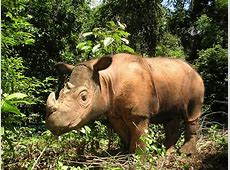 The Sumatran rhino still roams wild sighted for the first