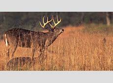 One Easy Way to Bring Big Bucks To You! Deer & Deer