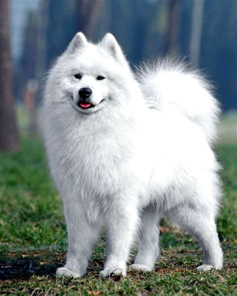 Cute Samoyed Puppies Photos Cute Puppy Images Pictures