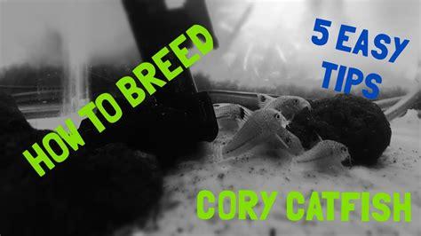 breed cory catfish  easy tips youtube
