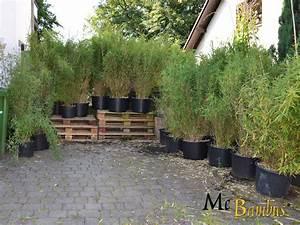 Bambus Pflanzen Kübel : fargesia murielae jumbo als bambushecke sie sind immergr n und pflegeleicht da sie keinen ~ Frokenaadalensverden.com Haus und Dekorationen