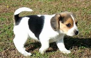 Beagle Dog Mix Photo - Happy Dog Heaven