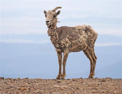 Ugly Goat Stock Image. Image Of Colorado, Animal, Goat