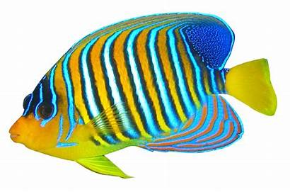 Fish Transparent Clipart Angelfish Angel Tropical Realistic