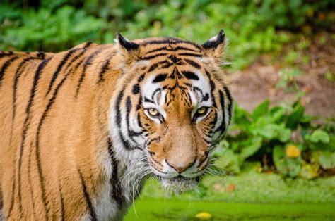 bengal tiger  green grass  stock photo