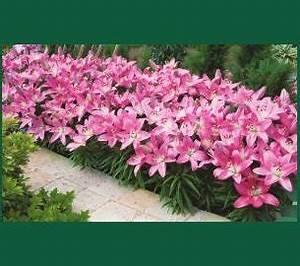 Plante De Bordure : les fleurs en bordure pour embellir une all e ~ Preciouscoupons.com Idées de Décoration