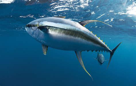 tuna fish tuna fishing in the gulf louisiana fishing out of venice la