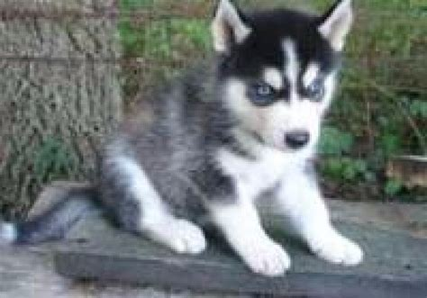 Siberian Husky Puppies For Adoption Pets For Free