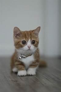 21 Adorable Munchkin Cats