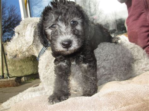 Bedlington Terrier Breed Description History And Overview
