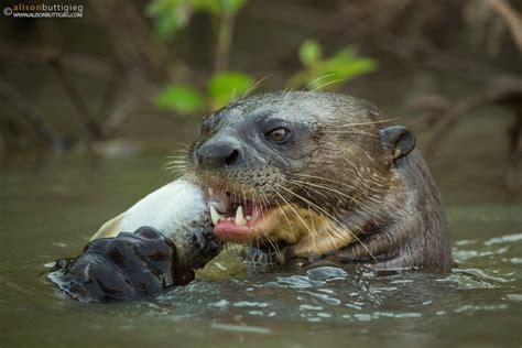 pantanal brazil alison buttigieg wildlife photography
