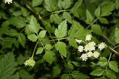 oenanthe sarmentosa wikipedia