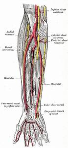Superficial Branch Of The Radial Nerve