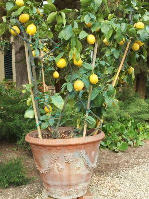 au jardin 187 un citronnier sur la terrasse