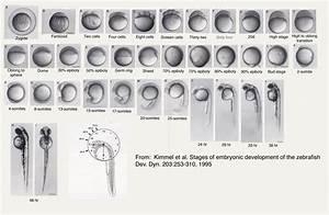 Zebrafish development | hutsonlab