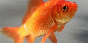 Goldfish Care  Breeds And Goldfish Diseases