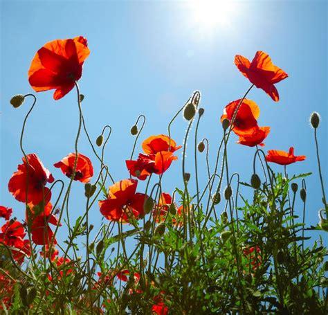 buren bloemen 135 beste afbeeldingen van klaprozen poppies klaprozen