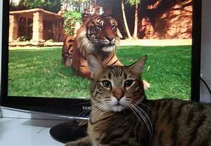 Tiger and cat - Our Planet
