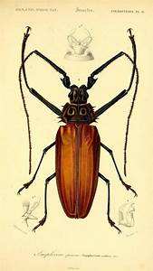 Vintage Insect Illustration Of A Giant Long Horn Beetle