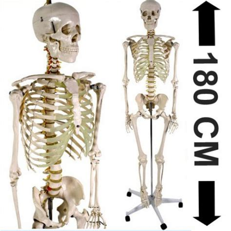 ustensiles de cuisine professionnel acheter squelette humain 180cm achat squelette du corps humain