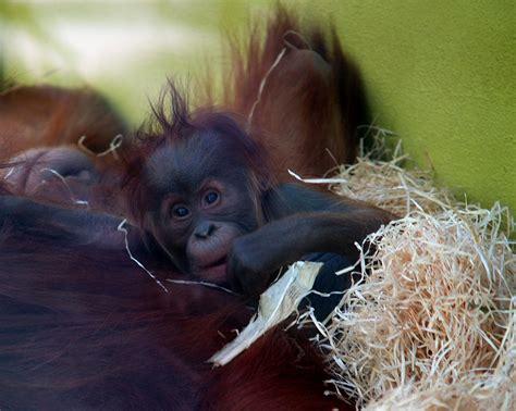 Wiki Orangutan Upcscavenger