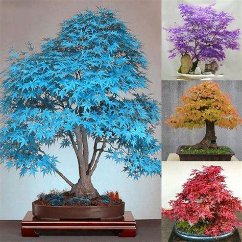 Bonsai Baum Pflanzen by 20st Seltene Ahorn Samen Blue Ahorn Samen Bonsai Baum