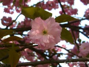 Single Cherry Blossom Flower