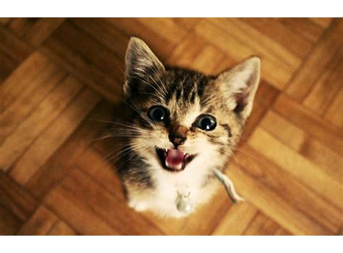 Download 96+  Gambar Kucing Anggora Lucu Bergerak Terlihat Keren Gratis