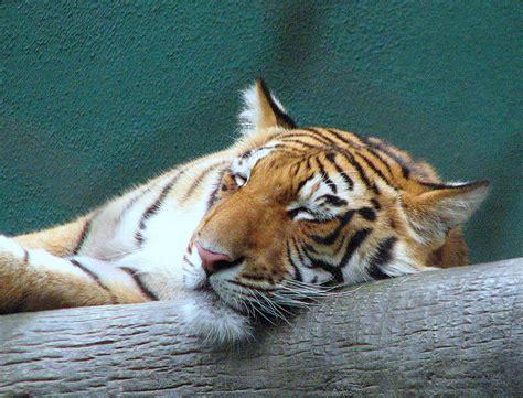 Heterozygous Golden Tiger Animals Cute