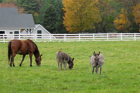 donkey horse pasture care donkeys livestock companions management fencing forage human file health wikipedia barn fall winter grass cattle keep