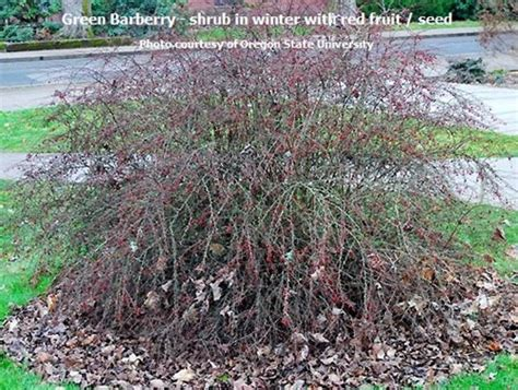 green barberry berberis