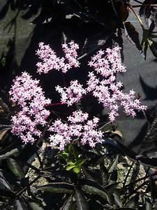 Schwarzer Holunder Black Beauty : sambucus nigra 39 black beauty 39 schwarzer holunder ~ Michelbontemps.com Haus und Dekorationen