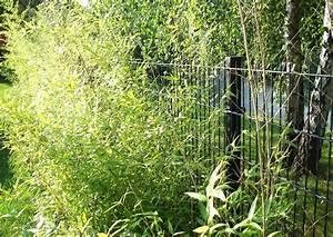 Bambushecke als sichtschutz freundliche optik und immergr n for Lebender zaun immergrün