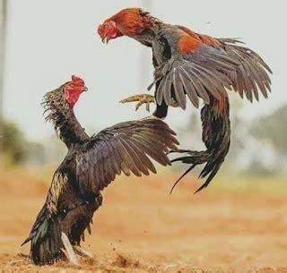 Ayam petarung terbaik dan termahal di dunia follow kami disini : Bentuk Dan Model Kaki Ayam Petarung Pukul Saraf/Ko / Pada ...
