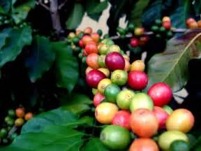 Coffee Bean Plant Flower Main families of coffee bean plants