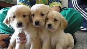 local golden retriever puppies petsidi