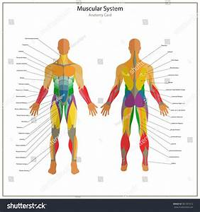 Illustration Human Muscles Exercise Anatomy Guide Stock