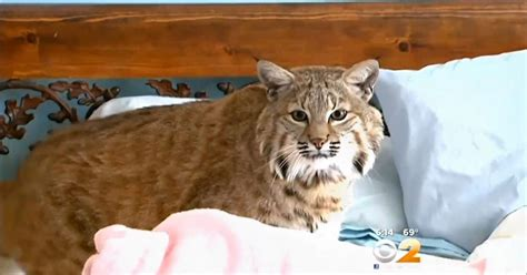 Pet Bobcat Escapes For Seventh Time From Nj Home Ny