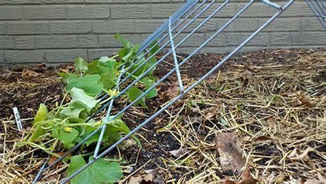 trellis for cucumbers make a cucumber tent trellis bonnie plants
