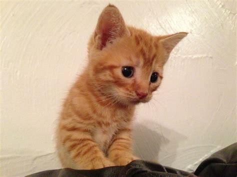 Ginger Kittens Gorgeous Markings 1 Rare Female Ely
