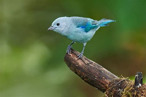 blue gray tanager page