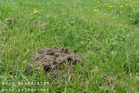 Ameisenplage Im Garten Bek Mpfen 2797 by Ameisen Im Rasen Ameisen Im Rasen Was Hilft Gro Fl Chig