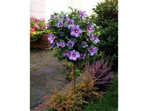 blau blühende pflanze hibiskus oiseau bleu 174 zum st 228 mmchen gezogen blau bl 252 hend 1 pflanze lidl deutschland lidl de