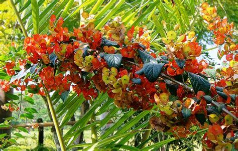 tropical flowering bushes tropical flowering shrub holmskioldia the chinese hat plant